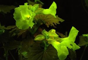 NECソフトら,光る花の研究開発に成功
