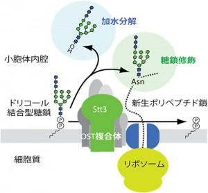 理研,オリゴ糖転移酵素(OST)がタンパク質の分解活性の触媒機能も持ち遊離糖鎖を生成することを発見