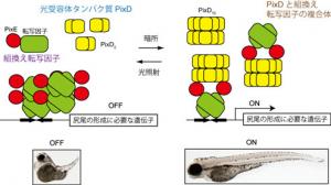 東工大,遺伝子発現を光で自在に調節する技術を開発