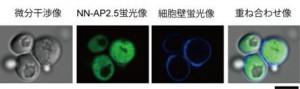 東大とキリン,自ら細胞の中に入り込む細胞用のミクロ温度計を開発