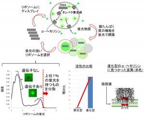 阪大、人工細胞を使って膜たんぱく質を「進化」させる技術を開発