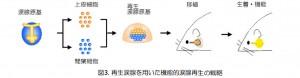 理大ほか、器官再生による涙腺機能の回復が可能であることを実証