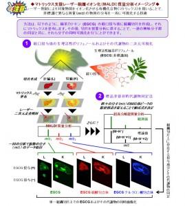 九大、質量分析イメージング法による緑茶カテキンの生体組織内分布情報の可視化技術の開発に成功