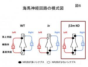 九大、脳の左右差形成ではたらく免疫タンパク質を発見