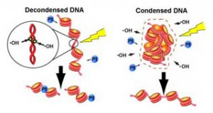 遺伝研、DNAを放射線から守る新しい仕組みを発見