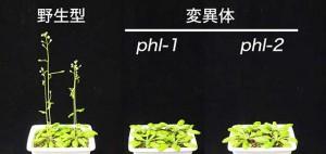 京大、赤色光受容体の機能を制御することで花を咲かせるタイミングを調節する新たな因子を発見