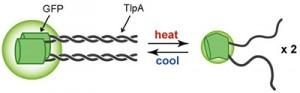 京大、細胞内温度センサの開発と生体の恒常性を担う熱産生機構の可視化に成功