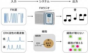 京大、ERK分子の活性化の頻度による細胞の増殖速度の調節機構を発見