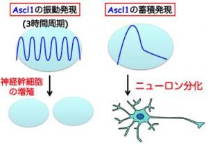 京大、神経幹細胞の多分化能及び分化決定メカニズムの解明と、その操作に成功