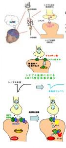 慶大、世界で初めて記憶と忘却の脳内メカニズムの鍵を解明