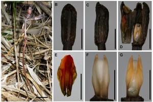 京大、光合成も咲くこともやめた新種の植物を発見