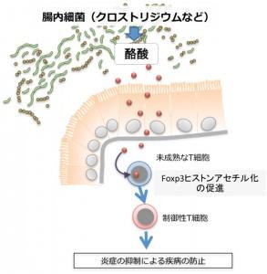 理研ほか、酪酸が制御性T細胞への分化誘導に重要な遺伝子の発現を高めることを発見