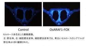 筑波大、イネの細胞壁を改変することにより、バイオエタノール材料となるセルロース量増加に成功