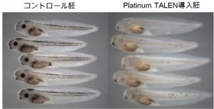 京大ら,新しい人工ヌクレアーゼの開発と,これを用いた遺伝子改変に成功