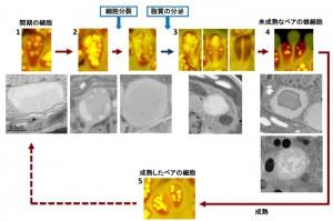 奈良女子大,次世代のバイオ燃料開発で注目されている微細藻の炭化水素細胞外蓄積過程を解明
