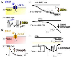 東北大ほか、光操作の新技術によってグリア細胞の新しい機能を発見