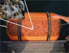東大と東工大,プラズマ処理技術によりクラゲ幼生の着底を制御することに成功