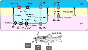 東工大,魚が淡水中のわずかな栄養素を取り込む機構を解明