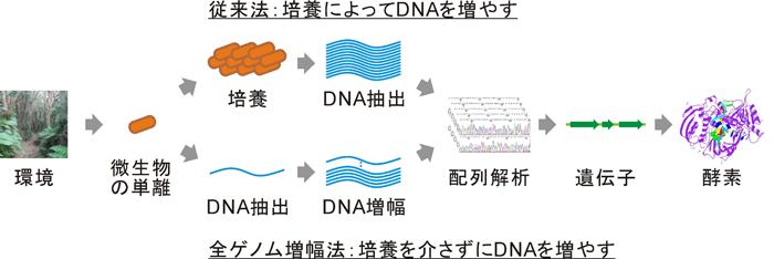 農研機構,わずかな試料DNAを大量複製できるDNA合成酵素の生産に成功