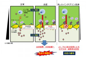 北大,α9 インテグリンによる炎症の所属リンパ節からのリンパ球移出誘導の仕組を解明