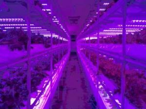 昭和電工の植物育成用LEDとShigyo法,沖縄の植物工場に採用