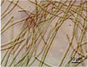 名大,シアノバクテリアの窒素固定に必須の制御タンパク質の遺伝子を発見