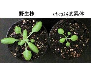 理研,植物のホルモン「サイトカイニン」の輸送を担う遺伝子を同定