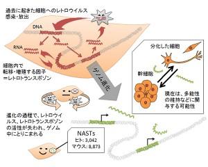理研,ジャンクDNAから転写されるRNAの新しい機能を発見