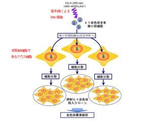 原研ら,被ばくにより被ばくを免れた正常な染色体にも異常が生じることを発見