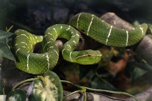 蛇女と蛇の目