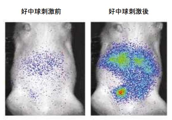 慶大ら,生体内の活性酸素の可視化に成功