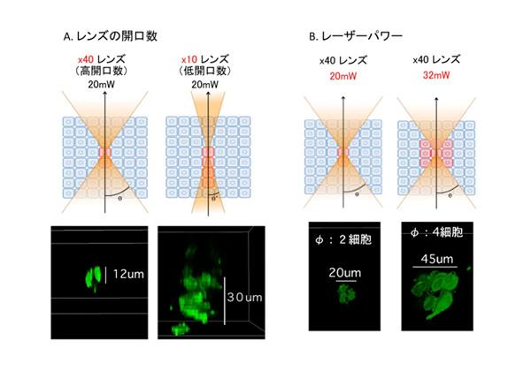 基生研ら,両生類の四肢再生をレーザーで解析