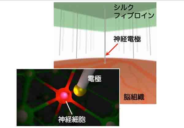 豊橋技科大,半導体結晶成長法で神経電極を開発