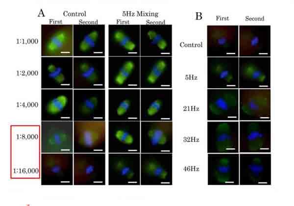 秋田大ら,卵子の効率的な蛍光染色法を開発