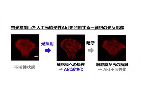 東大,光遺伝学で酵素活性の操作に成功