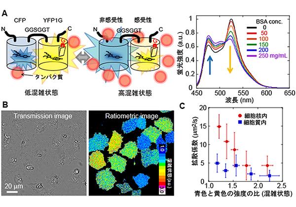 理研ら,分子混雑が計測できる蛍光タンパク質を開発