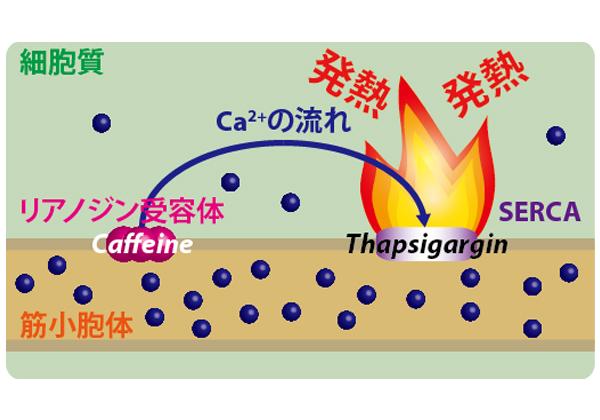早大,細胞の温度変化を蛍光イメージングで計測