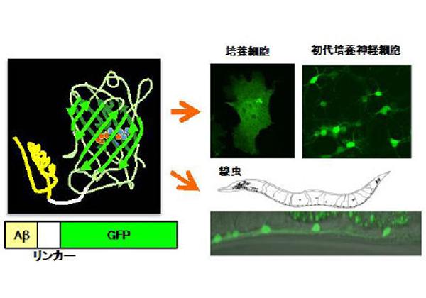 産総研ら,アルツハイマーの原因タンパク質を可視化
